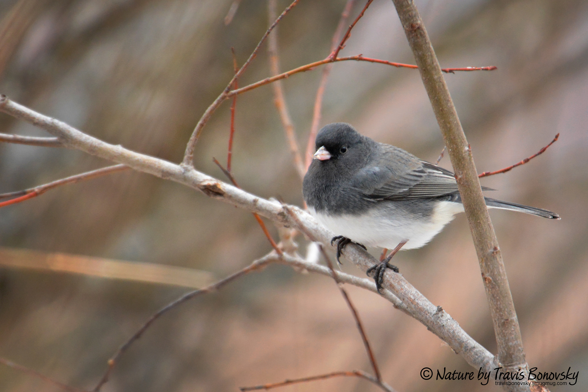 While pictured here resting in a small tree, the dark-eyed junco spends most of its time foraging on the ground. This bird is found throughout the United States from Alaska to Mexico, California to New York, as well as our back yards in Minnesota. (photo credit: Travis Bono)