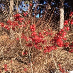 The lovely winter fruit of the appropriately named winterberry (Ilex verticillata), a Minnesota native shrub.